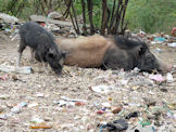 Mother and son? pigs at Gwalior in India.