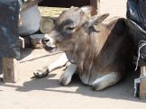 A really nice little Indian calf resting at Puri, India.