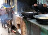 Pushkar cow waiting to be served - India.