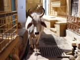 Jaisalmer cow wandering the streets.